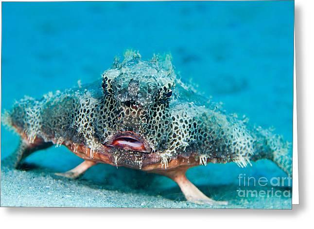 Batfish Greeting Cards - Polka-dot Batfish Greeting Card by David Fleetham
