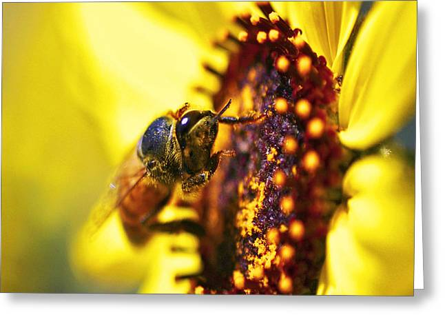 Honey Bee Greeting Cards - Pollinating Greeting Card by Gilbert Artiaga