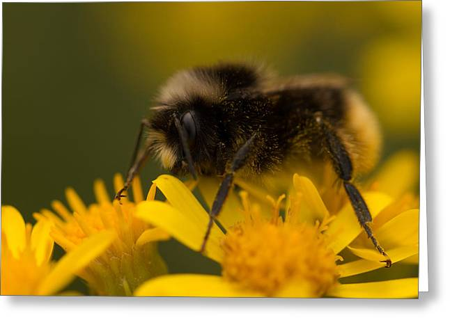 Wildlife Greeting Cards - Pollinating Bumblebee Greeting Card by Robert Carr