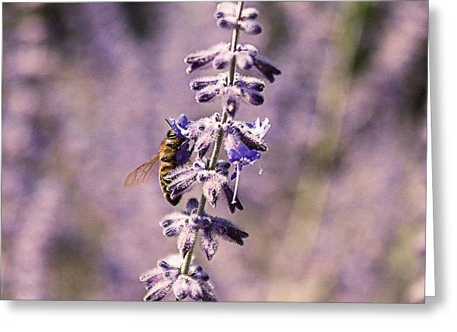 Power Plants Greeting Cards - Pollinating Purple Lavender Greeting Card by Janice Rae Pariza