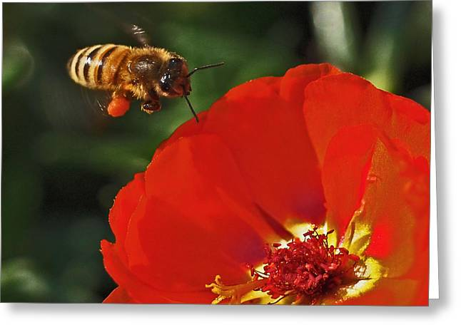 Honey Bee Greeting Cards - Pollination Greeting Card by Rona Black