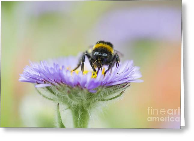 Bumblebee Greeting Cards - Pollinator  Greeting Card by Tim Gainey