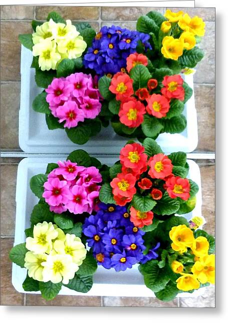Polyanthus Primroses Greeting Card by Will Borden