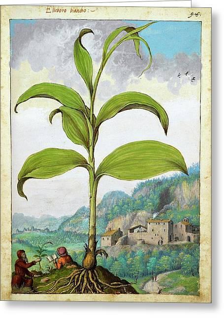 Polygonatum Bianco Plant Greeting Card by British Library