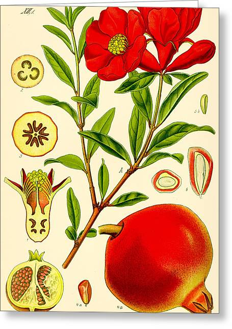 Thome Greeting Cards - Pomegranate Greeting Card by Nomad Art And  Design
