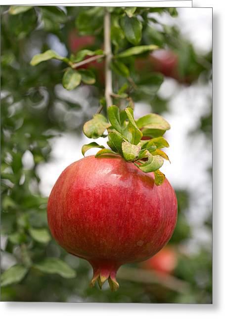 Punica Granatum Greeting Cards - Pomegranate (punica Granatum) Greeting Card by Power And Syred