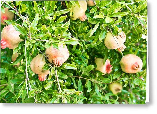 Branches Photographs Greeting Cards - Pomegranates Greeting Card by Tom Gowanlock