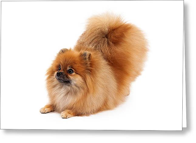 Beg Greeting Cards - Pomeranian Bowing Looking to Side Greeting Card by Susan  Schmitz