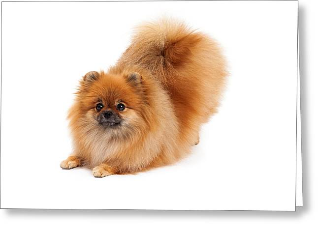 Beg Greeting Cards - Pomeranian in Downdog Position Greeting Card by Susan  Schmitz