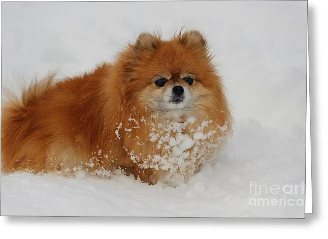 Pomeranian In Snow Greeting Card by John Shaw