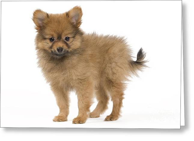 Dog Photographs Greeting Cards - Pomeranian Puppy Dog Greeting Card by Jean-Michel Labat