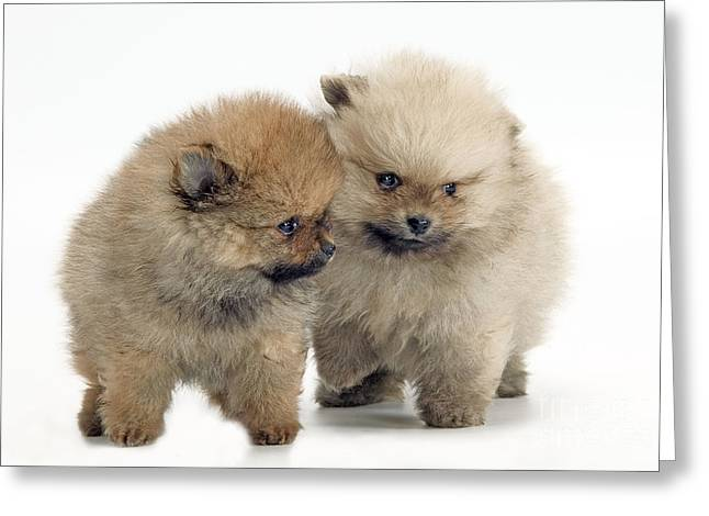 Toy Dog Greeting Cards - Pomeranian Puppy Dogs Greeting Card by Jean-Michel Labat