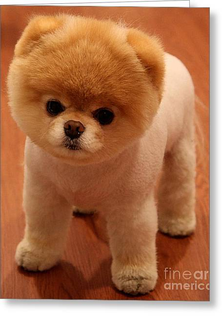 Color Image Greeting Cards - Pomeranian Puppy  Greeting Card by Marvin Blaine