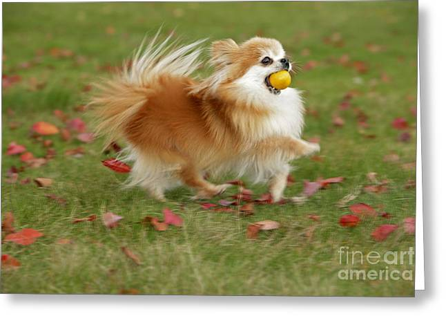 Pomeranian Running Greeting Card by Rolf Kopfle