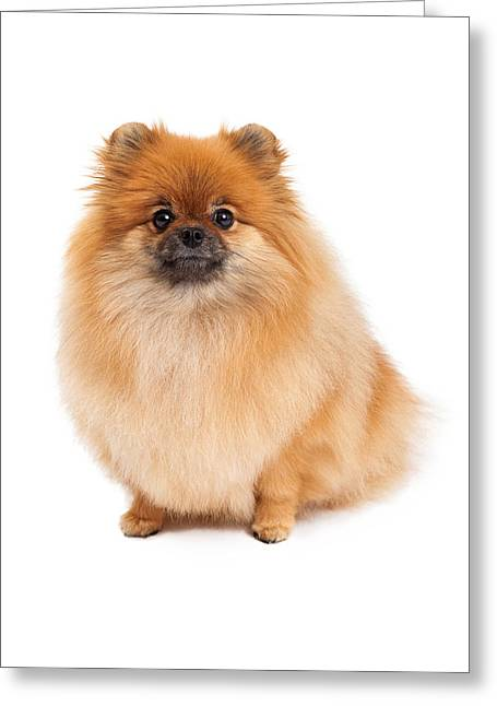 Isolated Greeting Cards - Pomeranian Sitting Looking Forward Greeting Card by Susan  Schmitz