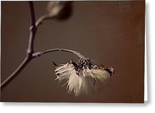 Texture Floral Photographs Greeting Cards - Pompom - br01t01c Greeting Card by Variance Collections