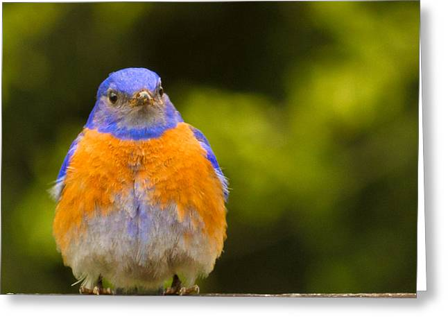 Turdidae Greeting Cards - Pompous Bluebird Greeting Card by Jean Noren