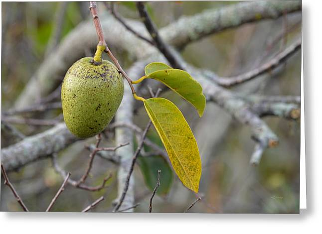 Soursop Greeting Cards - Pond Apple Annona glabra Greeting Card by RoyD Erickson
