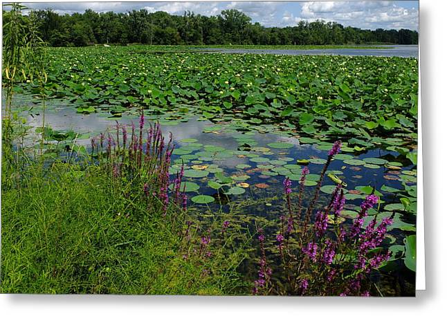 Indiana Lily Greeting Cards - Water Lilies Forever Greeting Card by Scott Kingery