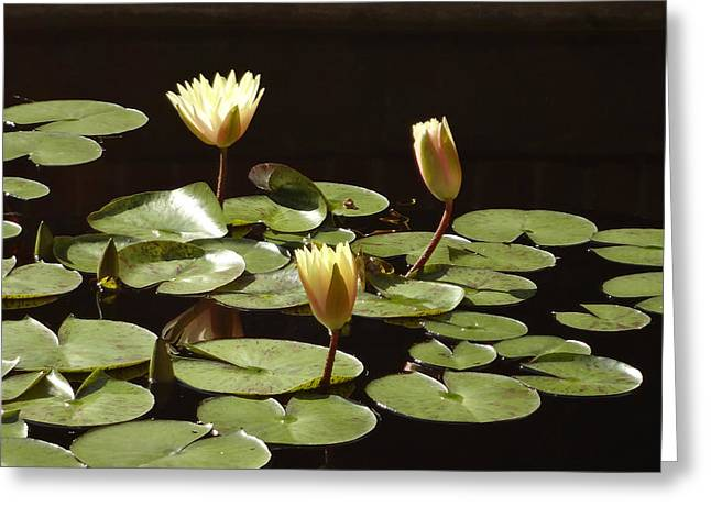 Wildfowers Greeting Cards - Pond Lilies Greeting Card by Jill Watson