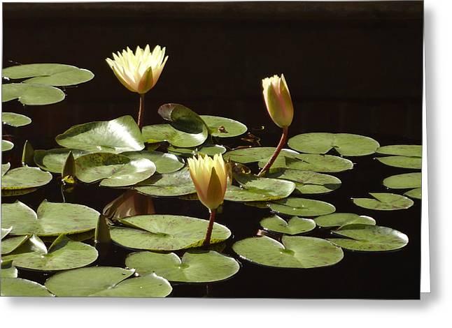 Watson Lake Greeting Cards - Pond Lilies Greeting Card by Jill Watson