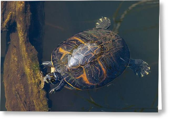 Slider Greeting Cards - Pond Slider Turtle Greeting Card by Rudy Umans