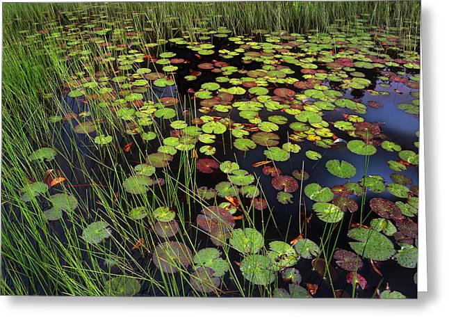 Lilly Pad Greeting Cards - Pond With Lily Pads And Grasses Cape Cod Greeting Card by Tim Fitzharris