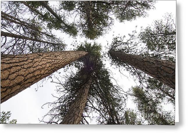 Pinaceae Greeting Cards - Ponderosa Pine Greeting Card by William H. Mullins