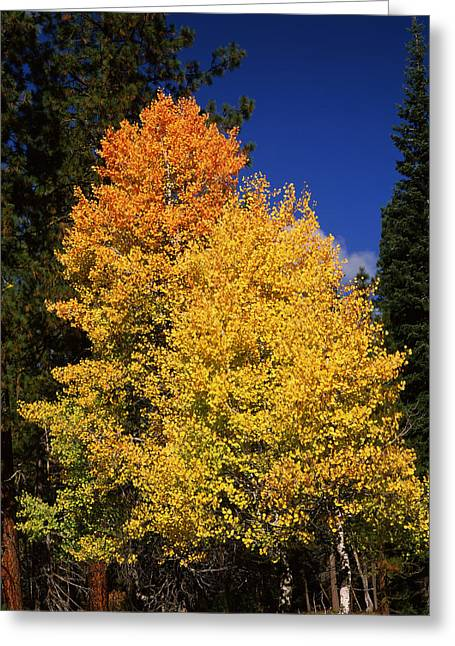 Crater Lake National Park Greeting Cards - Ponderosa Pine With Aspen And Fir Trees Greeting Card by Panoramic Images