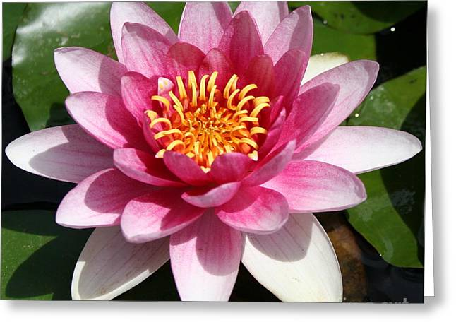 Waterlily Stamen Greeting Cards - Ponds Pride Greeting Card by Christiane Schulze Art And Photography