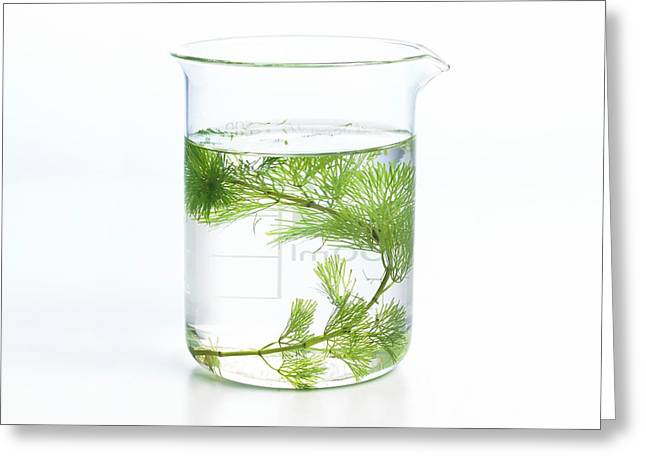 Pondweed Photosynthesis Greeting Card by Science Photo Library