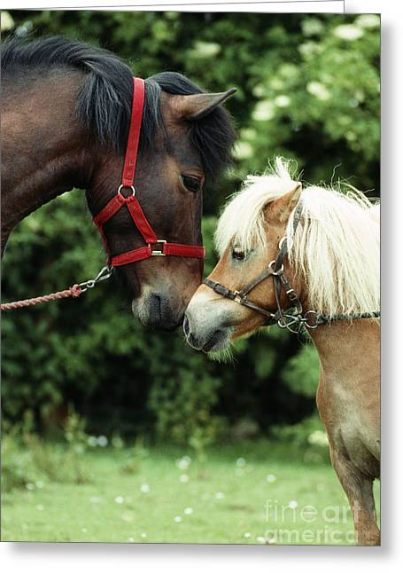 Best Friend Greeting Cards - Ponies Touching Noses Greeting Card by John Daniels