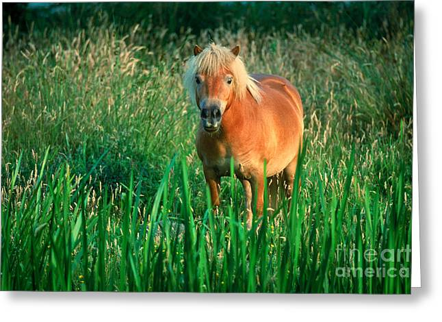 Wet Grass Greeting Cards - Pony Greeting Card by Kees Van Den Berg