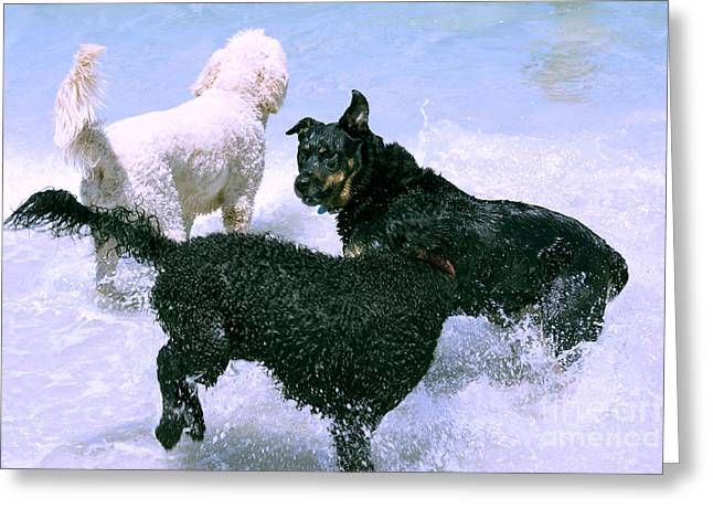 Dog Play Beach Greeting Cards - Pooch Play Greeting Card by Cassandra Buckley