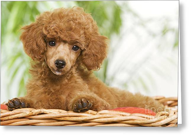 Apricot Greeting Cards - Poodle Greeting Card by Jean-Michel Labat