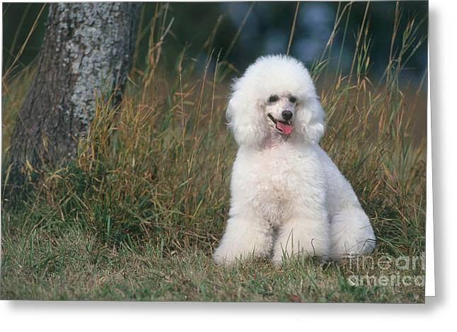 Panting Dog Greeting Cards - Poodle Greeting Card by JL Klein & ML Hubert/Okapia