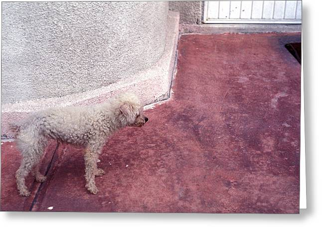 Inconsistencies Greeting Cards - Poodle Greeting Card by Mark Goebel