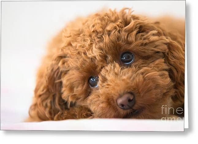 Recently Sold -  - People Pyrography Greeting Cards - Poodle Greeting Card by Maurizio Bacciarini