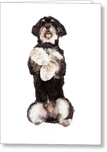 Playful Greeting Cards - Poodle Mix Breed Dog Begging Greeting Card by Susan  Schmitz