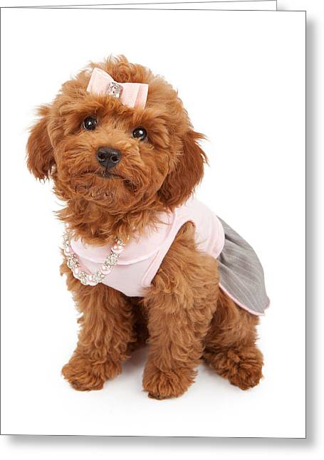 Spring Dresses Greeting Cards - Poodle Puppy Wearing Pink Outfit Greeting Card by Susan  Schmitz