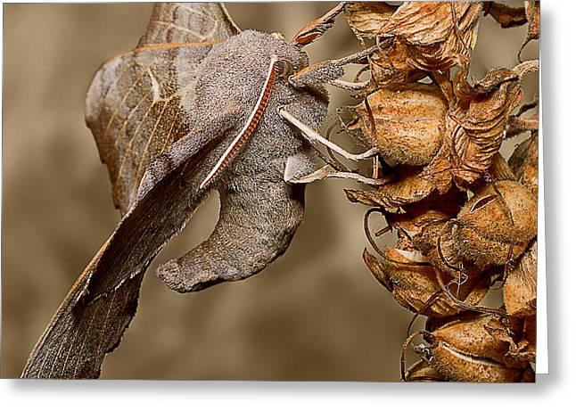 Moth Greeting Cards - Poplar Hawk moth Greeting Card by Mr Bennett Kent