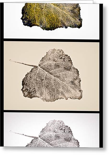 Fallen Leaf On Water Greeting Cards - Poplar Leaf 3xT vertical-blkborder Greeting Card by Greg Jackson