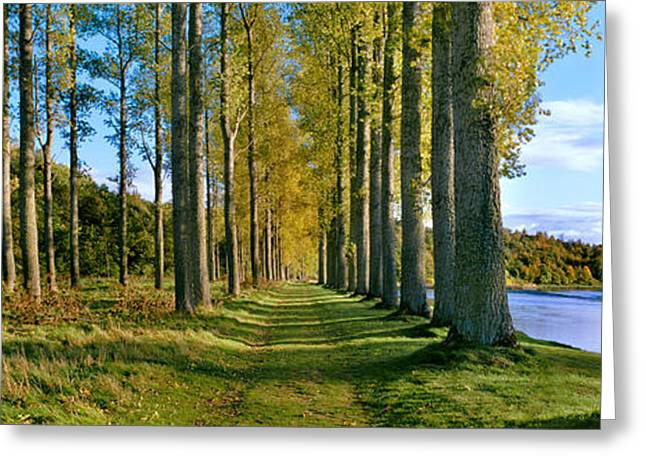 Treelined Greeting Cards - Poplar Treelined At The Riverside Greeting Card by Panoramic Images