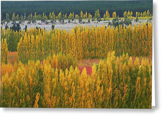 Poplar Trees And Orchard In Autumn Greeting Card by David Wall