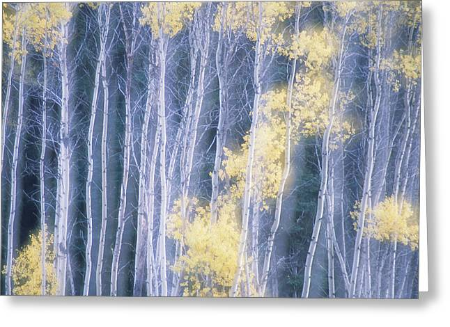 Double Image Greeting Cards - Poplar Trees In Autumn, Grey Creek Greeting Card by Kari Medig