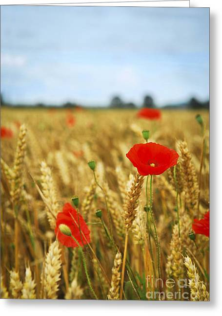 Remembering Greeting Cards - Poppies in grain field Greeting Card by Elena Elisseeva