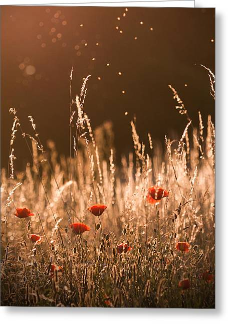 Rikard Olsson Greeting Cards - Poppies in the evening light Greeting Card by Rikard Olsson