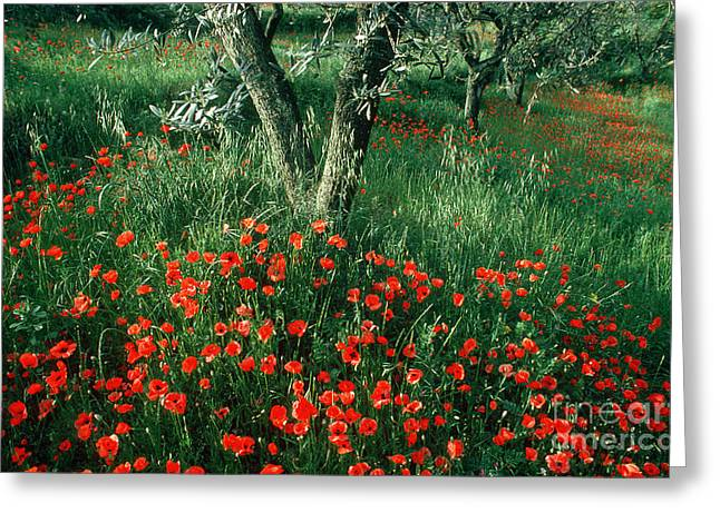 Olive Grove Greeting Cards - Poppies Greeting Card by James L. Amos