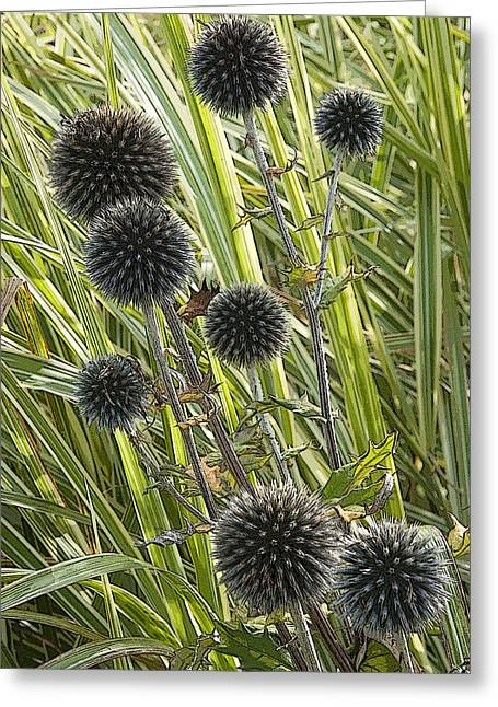 Thistle Greeting Cards - Popping Thistles Waterperry Gardens UK Greeting Card by Rob Huntley