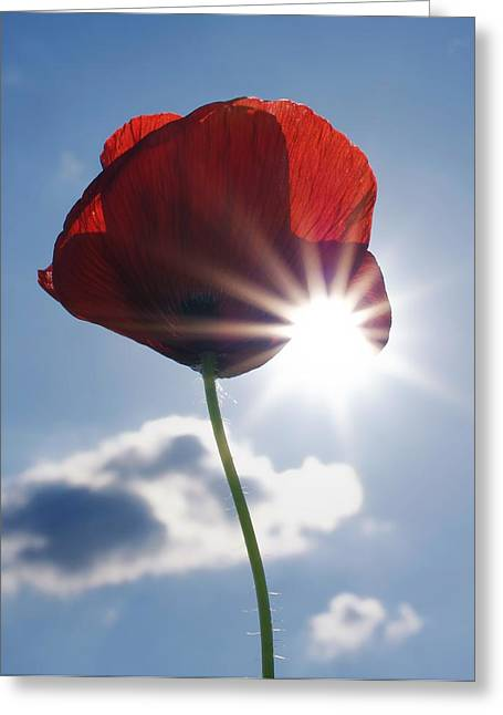 Herbage Greeting Cards - Poppy and the Sun Greeting Card by Mountain Dreams